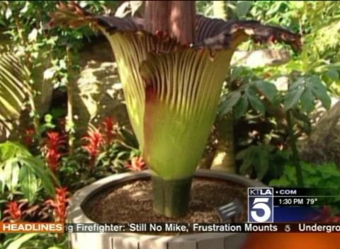 News video: Rare, Smelly Corpse Flower Set To Bloom